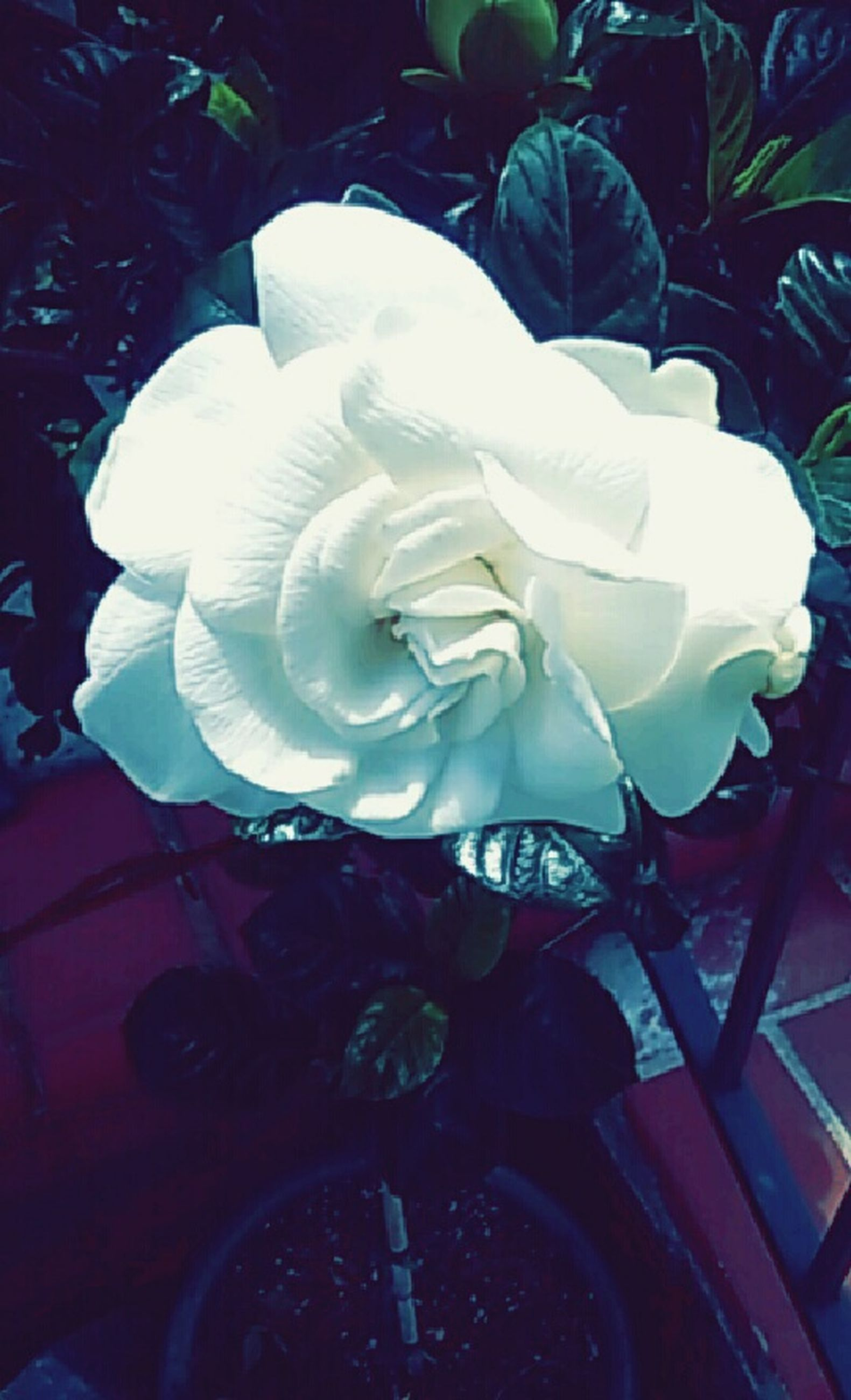flower, petal, flower head, rose - flower, fragility, indoors, close-up, white color, growth, plant, freshness, single flower, leaf, vase, no people, beauty in nature, nature, high angle view, design, rose