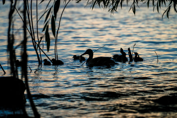 Lachine Travel Traveling Animal Themes Animal Wildlife Animals In The Wild Beauty In Nature Bird Canada Coast To Coast Day Duck Ducks Lake Nature No People Outdoors Rippled Swimming Togetherness Tourism Tourist Destination Travel Destinations Water Waterfront
