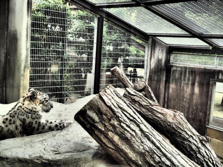 Panther Snow Zoo Wild Animal