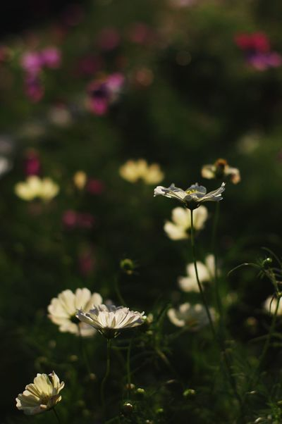 Nature Flower Beauty In Nature Outdoors Plant Grass No People Growth Day Fragility Close-up Fungus Freshness Flower Head Scenics Day Time Photography Fall Season コスモス 秋桜 Trip Photo Japan Nara