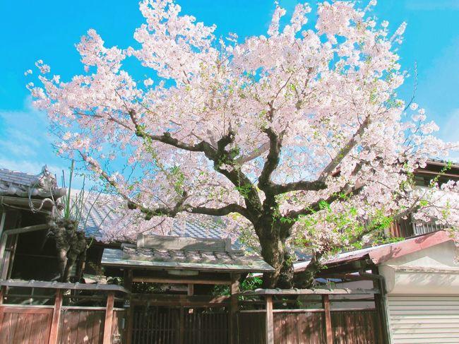 Showcase April Spring Cherry Blossoms OSAKA Japan Urban Spring Fever Sunny Day ☀️🌸