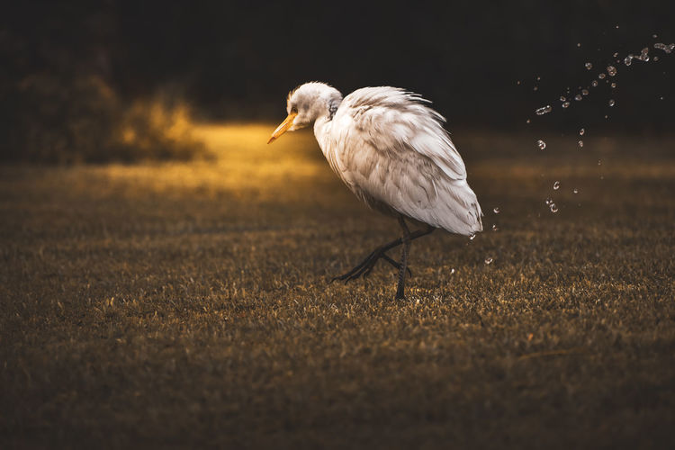 Close-up of white egret on land