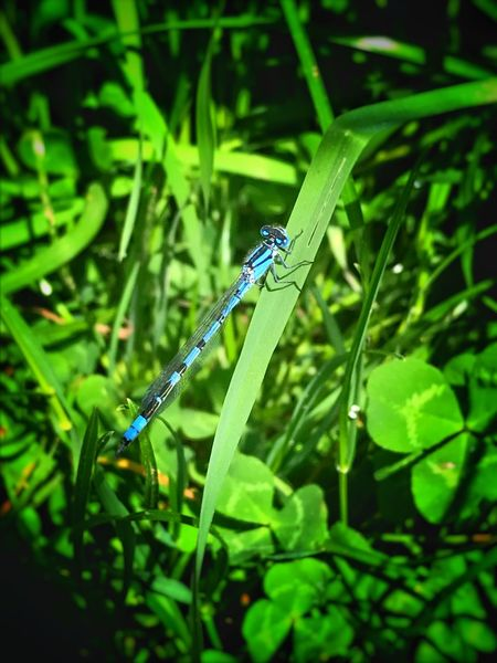 One Animal Animal Themes Animals In The Wild Insect Green Color Damselfly Animal Wildlife Plant Nature Day Outdoors Leaf Growth No People Grass Close-up Full Length Beauty In Nature Dragonfly