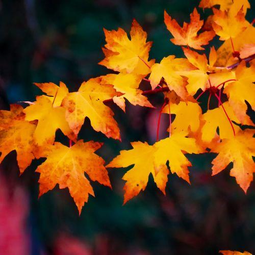 Fall colours Autumn Leaf Change Nature Outdoors Beauty In Nature No People Scenics Tree Close-up Maple Maple Leaf Yellow NewEyEm NewEyeEmPhotographer Mississauga Ontario