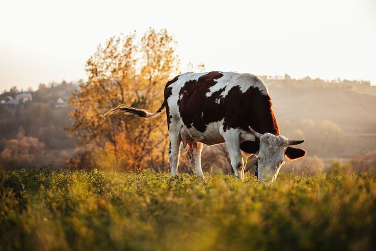 Low angle view of cow standing at field at morning