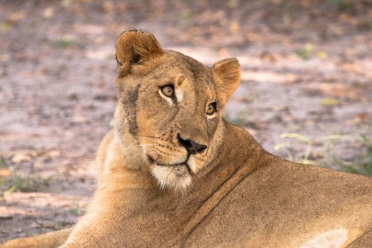 Animal Themes Animal Wildlife Animals In The Wild Lion - Feline Lioness Nature One Animal Safari Animals First Eyeem Photo