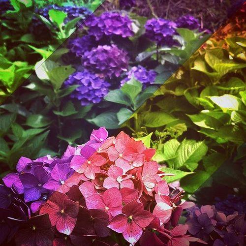 繽紛一夏🌸🌺💮 晴れた日 Sunnyday 花 Hana Hydrangea あじさい 繡球花 紫楊花 Summer 夏 夏日和 カラフル