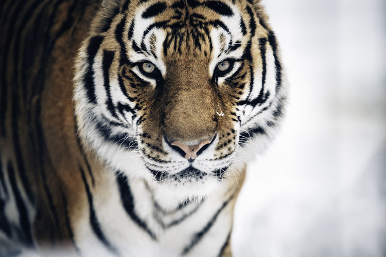 Bengal Tiger on snow at Asahiyama zoo in Asahikawa, Hokkaido, Japan. Asahiyama Zoo BeNGaL TiGeR Hokkaido,Japan Tiger-love Winter Animal Wildlife Asahikawa Bengal Tigers Close-up Looking At Camera No People One Animal Portrait Tiger The Great Outdoors - 2018 EyeEm Awards