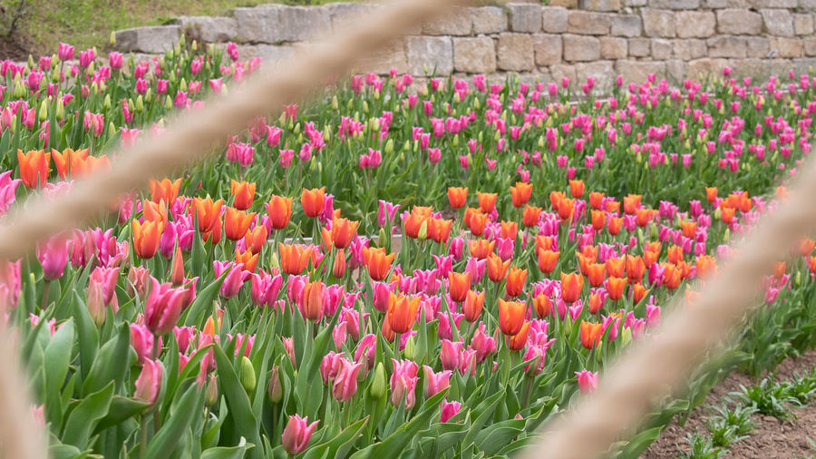 Close-up of pink tulip flowers on field