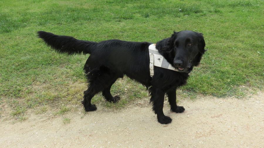 Adorable Animal Blind Canine Cecita Domestic Animals Flat Coated Retriever Guidedog Pedigree Pet