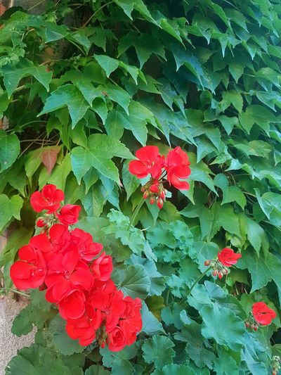 Leaf Red Green Color Growth Plant Nature Outdoors Day Beauty In Nature No People High Angle View Freshness Fragility Close-up Backgrounds Flower Flower Head Geranium Textures And Surfaces Green And Red