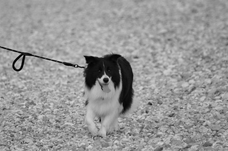 Dog being walked on stoney beach. Animal Themes Animal One Animal Domestic Domestic Animals Mammal Vertebrate Dog Canine No People Nature Beauty In Nature Scenics - Nature Pets Pet Owner Border Collie Blackandwhite Pet Leash Leash Long Haired Dog Pedigree Purebred Dog Walking Animal Markings Animal Mouth Mouth Open Tongue Out Panting Motion Motion Capture Backgrounds Beach Stoney Beach Pebble Beach Stone - Object Pebble Solid Movement Capture The Moment Day Outdoors Land Selective Focus Focus On Foreground Low Angle View Portrait