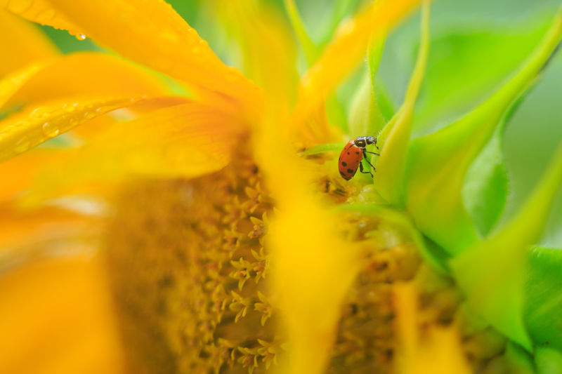 Sunflower One Animal Insect Animals In The Wild Animal Wildlife Animal Themes Selective Focus Plant Nature No People Ladybug Red Colorful Yellow Flower Sunflower Flower Petal Close-up Yellow Summer Animals In The Wild Nature