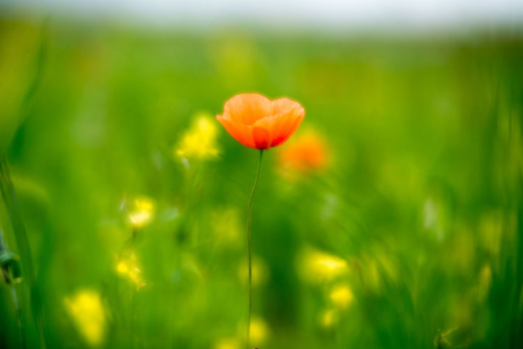 Outer Hebrides Beauty In Nature Blooming Close-up Delicate Field Flora Flower Flowers Freshness Grass Growth Machair Meadow Nature No People Outdoors Plant Poppies  Poppy Poppy Flowers Rural Scene Spring Vegetation Velvet56