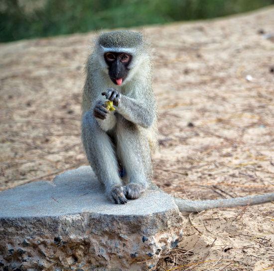 Monkey sitting eating outdoors