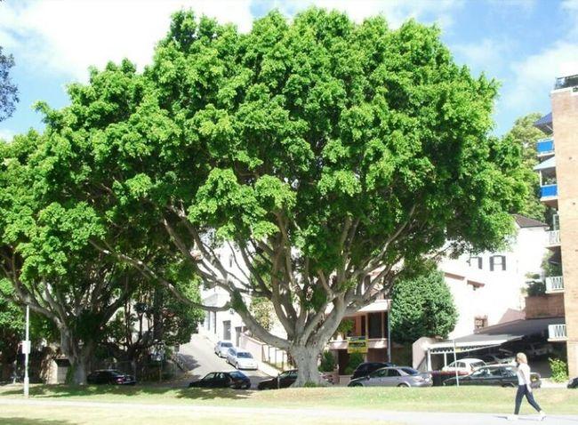 시드니도시를 무작정 걷다가 발견한 나무