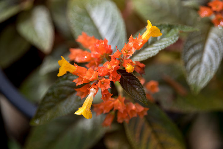 Plant Flowering Plant Orange Color Flower Growth Vulnerability  Close-up Beauty In Nature Freshness Fragility Plant Part Petal Leaf Nature No People Day Selective Focus Outdoors Inflorescence Flower Head