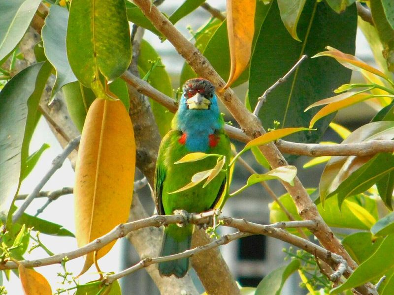 Hello Camera I See You Blue Throated Barbet Green Bird Nature_collection Nature Photography Nature Bird Free Wildlife & Nature Wildlife Green Spring Bird Welcome Spring! Finally..