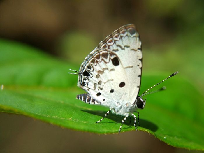 White butterfly Insect Animals In The Wild Butterfly - Insect Animal Wildlife Nature Animal Outdoors Close-up Indonesia Photography  Exploreindonesia Agroecosystem Plants 🌱 Insectphoto Insect Macro  Insects Of The World Insectphotography Insect Photography Macro Macro Nature Entomology Animal Themes EyeEm Selects Nature Photo Insect Photo Animals In The Wild