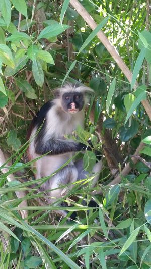 Sansibar Tanzania Zanzibar Africa Zanzibar_Tanzania Animal Themes Animal Photography Animal Animals In The Wild Monkey Red Colobus Traveling Travel Photography The Great Outdoors - 2016 EyeEm Awards