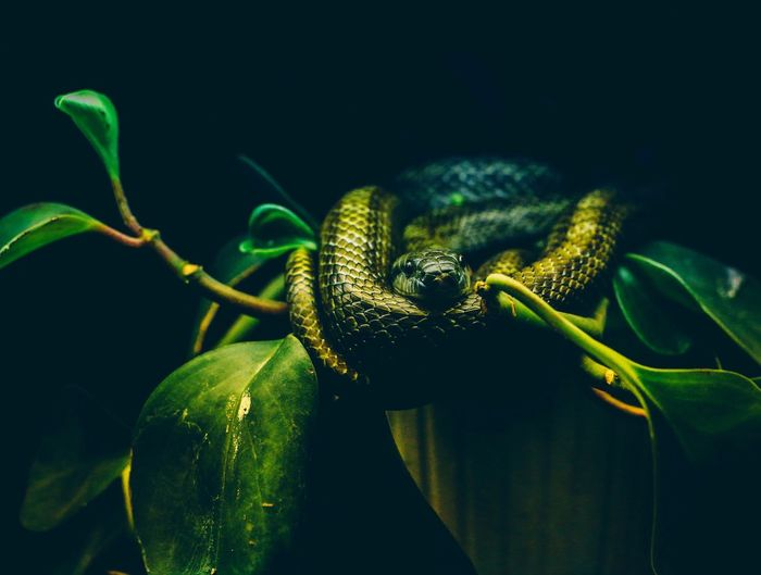 Close-Up Of Snake On Plant Over Black Background