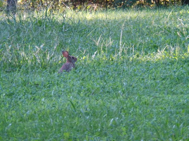 Tiny Rabbit In Grass Tall Grass Tiny Rabbit Rabbit Brown Rabbit Wildlife Calm Rabbit