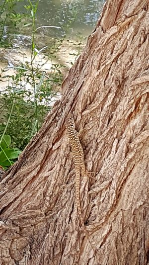 Close-up Lizard Camouflage Hide And Seek Tree Trunk