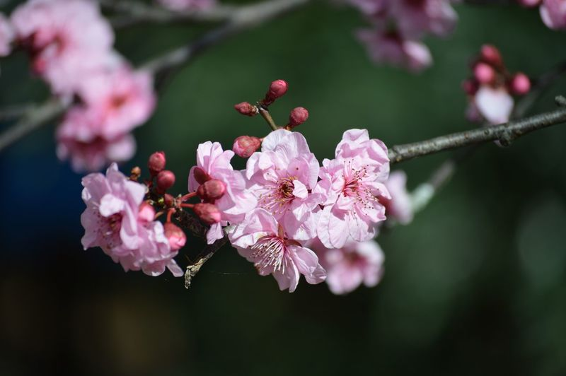 Beauty In Nature Cherry Blossom Close-up Flower Fragility Freshness In Bloom Pink Color