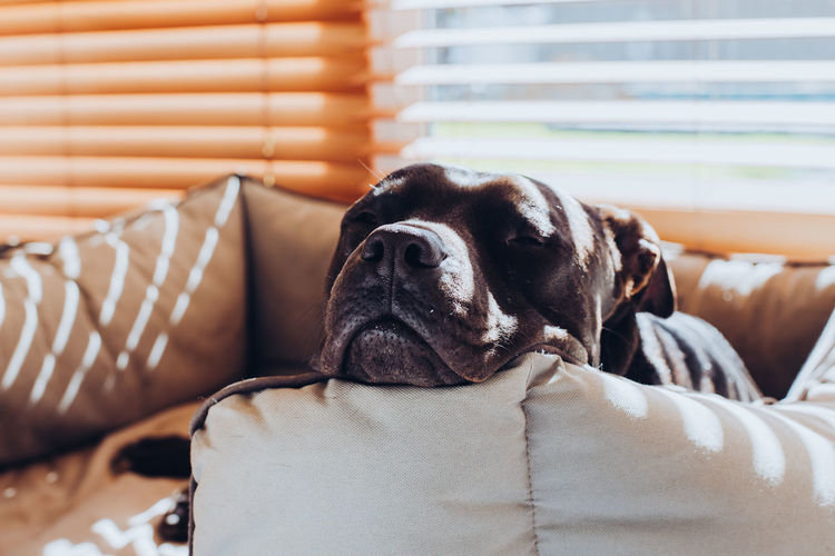 One Animal Mammal Animal Themes Dog Pets Canine Domestic Animals Animal Domestic Vertebrate Relaxation Furniture No People Indoors  Close-up Animal Body Part Focus On Foreground Sofa Portrait Day Animal Head  Purebred Dog Pitbull