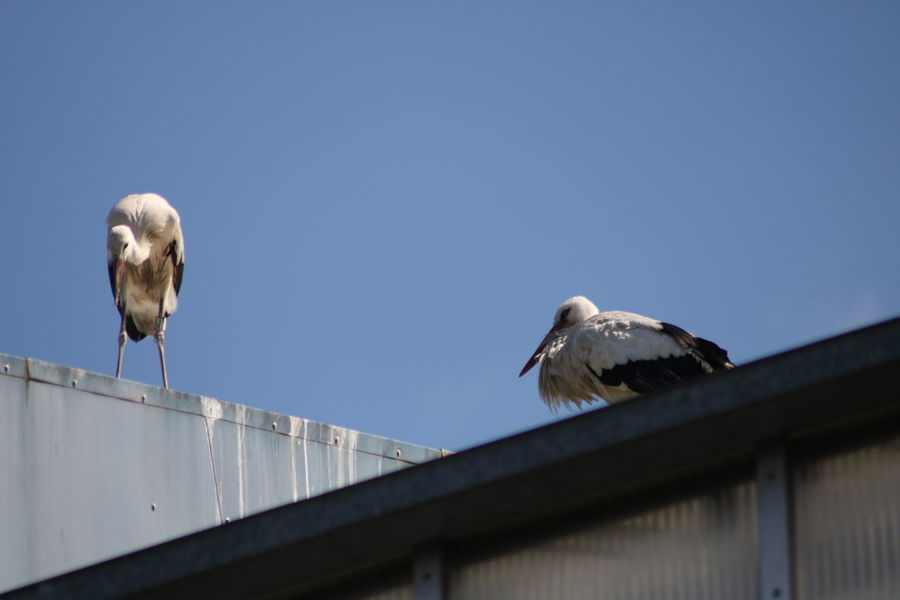 Clear Sky Animal Themes Animal Wildlife Animals In The Wild Architecture Bird Day Low Angle View Nature No People Outdoors Perching Stork Storks White Stork Young Stork