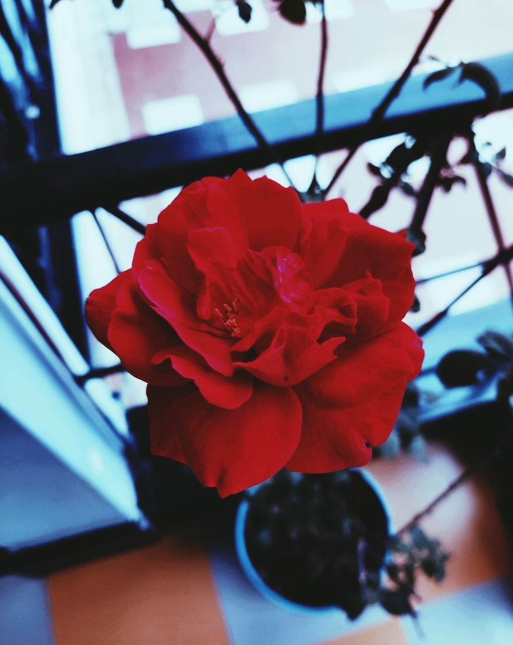 flowering plant, flower, freshness, plant, beauty in nature, petal, close-up, inflorescence, flower head, vulnerability, fragility, nature, red, indoors, growth, rose, rose - flower, focus on foreground, day, no people