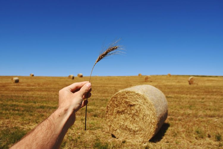 Cropped hand of man holding wheat crop against hay bales on field