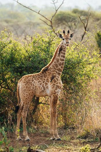 Giraffe standing in a forest