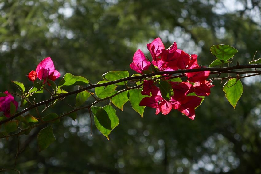 Plant Nature Focus On Foreground Beauty In Nature Fragility Freshness Flowering Plant Flower Leaf Vulnerability  Tree Growth Plant Part Day Close-up Pink Color No People
