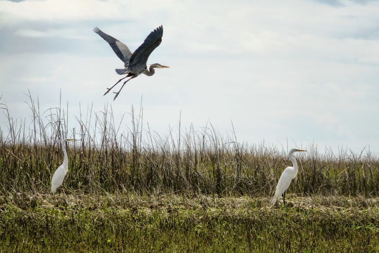coastal living Animal Themes Animals In The Wild Bird Blue Heron In Flight Coastal Life Flying Marsh Outdoors Sea Birds Sony Lover Sony Rx10 Mk3 Spread Wings White Egrets
