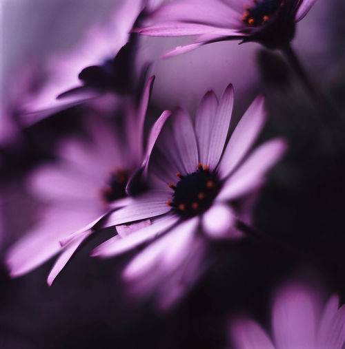 Flower Flowering Flora African Daisy Modesty  Quiet Quietude Silence Roadside By The Roadside Bokeh Depth Of Field Hasselblad 500C/M Planar 80mm Fuji Velvia 100