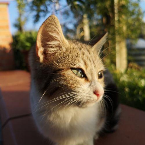 Feline Ginger