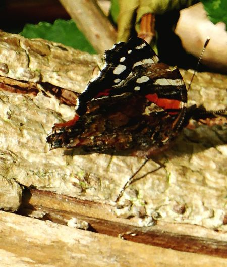 Close-up Animals In The Wild Animal Themes One Animal Insect Outdoors Nature Day No People Red Admiral Late Butterfly 21st Oct 2016