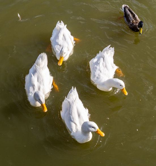 Duck Pekingese Aylesbury Aylesbury Duck American Pekin Duck Long Island Duck White Background Feathers Formation Pond Swimming Close-up Paddle Donald Duck Disney Peking  Buckinghamshire Food Chinese Food Pond. Water Reflections Reflection Relection On Water