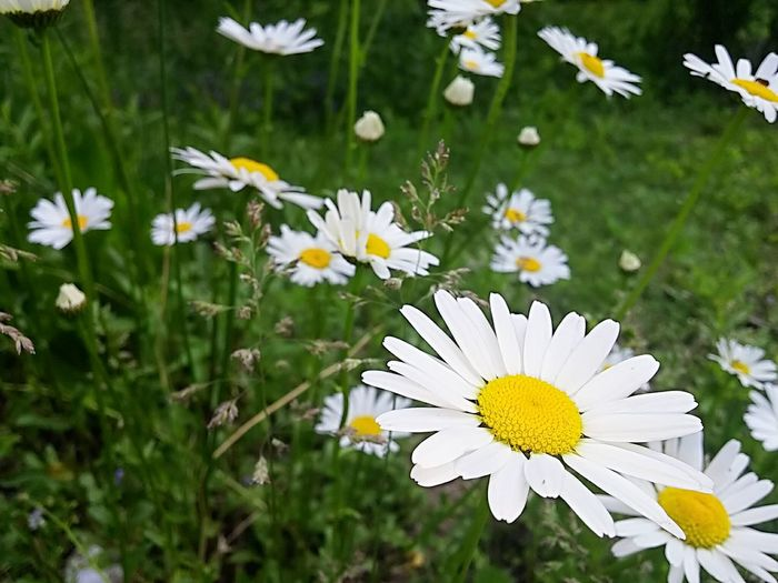Daisy Daisies Nature Flowers Meadow Flowers Meadow Prarie Grass Yellow White Love Me Love Me Not The Essence Of Summer Showcase June The Colour Of Life