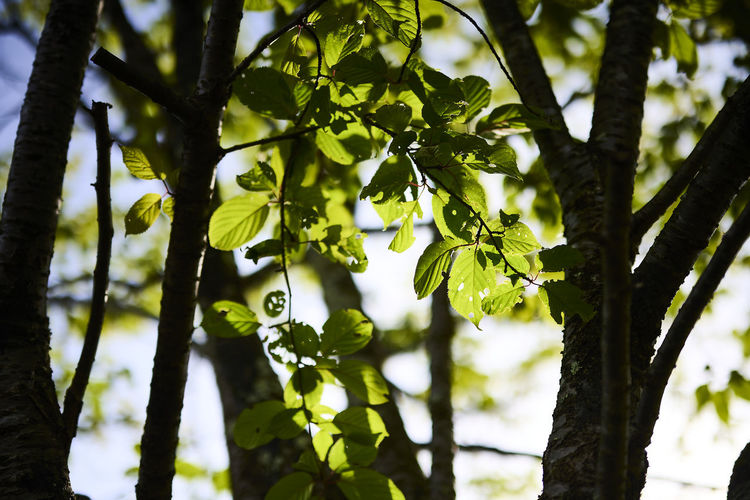 Low angle view of tree leaves in forest