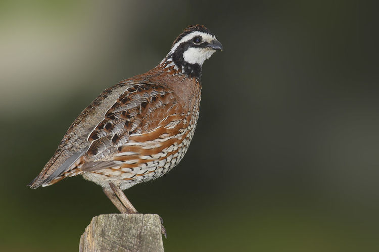 Northern Bobwhite Colinus Virginianus Northern Bobwhite Virginiawachtel Animal Themes Animal Wildlife Animals In The Wild Bird Close-up Day Nature No People One Animal Outdoors Perching