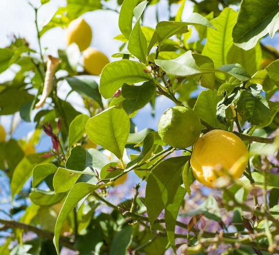 Fine lemons on