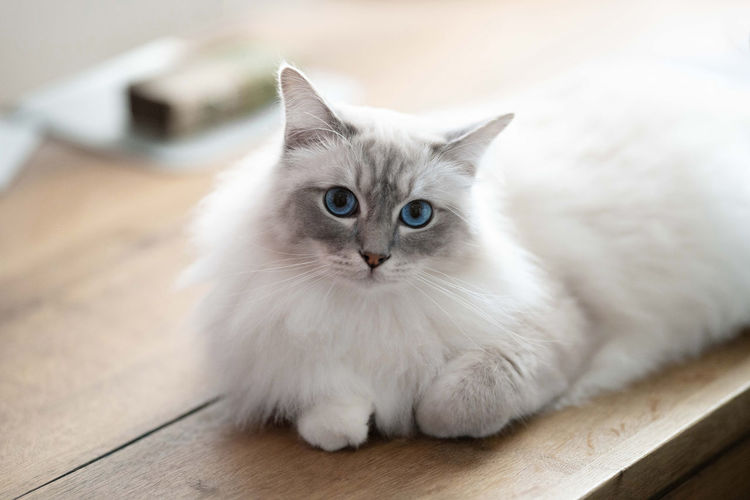 Animal Eye Birma Cat Cat Close-up Domestic Domestic Animals Domestic Cat Feline Flooring Indoors  Looking Looking At Camera Mammal No People One Animal Pets Portrait Relaxation Sitting Softness Whisker Young Animal
