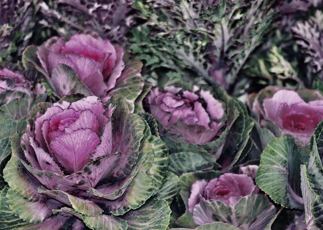 Fresh Purple Cabbage Box Colors Cooking Abundance Beauty In Nature Brassicaceae Cabbage Close-up Collection Colorful Cruciferous Decorative Food Food And Drink Fragility Freshness Growth Leaf Nature Outdoors Pink Color Plant Purple Purple Cabbage Vegetable