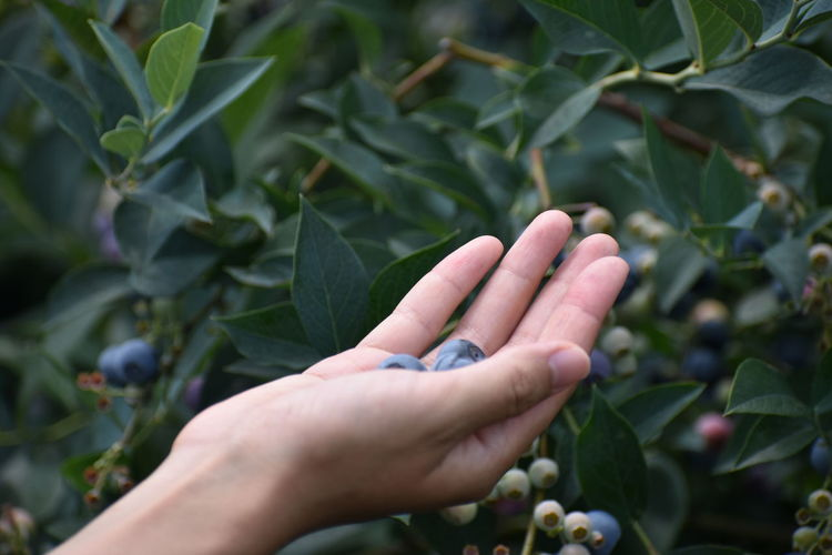 Cropped Hand Of Person Holding Blueberries At Farm