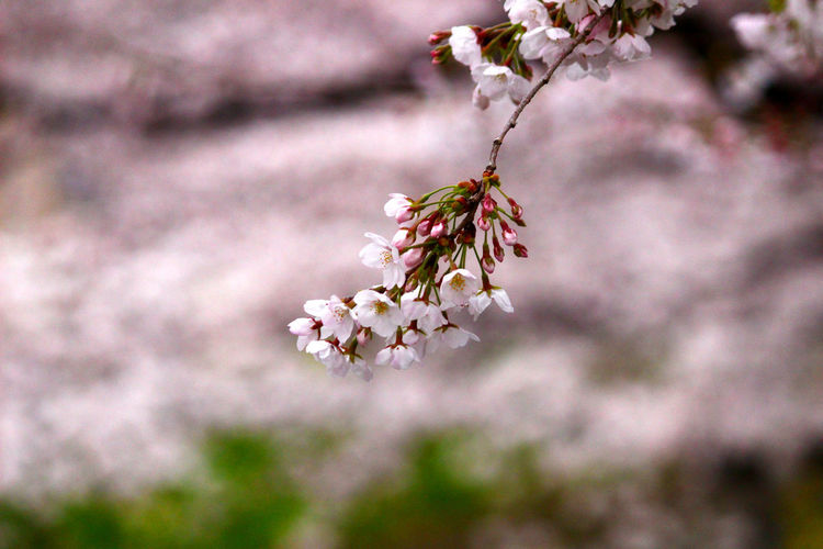 cherry blossom Plant Flower Flowering Plant Tree Growth Nature Freshness Blossom Beauty In Nature Springtime Branch Fragility Pink Color Environment No People Botany Outdoors Selective Focus