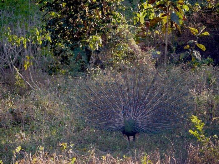Peacock feather on land
