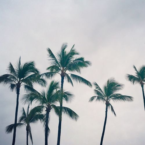 A bit rainy today... Palm Tree Low Angle View Tree Nature Growth Sky No People Beauty In Nature Scenics Tranquility Palm Frond Outdoors Day Hawaii Cloud - Sky Palm Tree