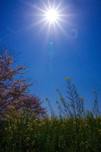 Low angle view of plants against blue sky on sunny day
